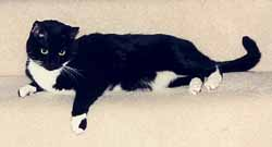 Cat sylvie-black-and-white-cat-2