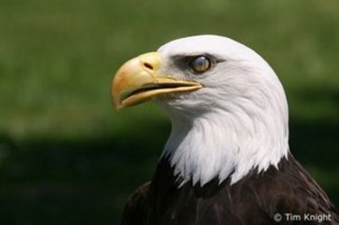 Yubu_bald_eagle_06tk