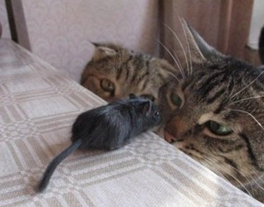 Cats_mouse2